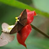 Eurybia lycisca Westwood, 1851 et Eurybia dardus annulata Stichel, 1910. Bosque Bavaria (Villavicencio, Meta, Colombie), 9 novembre 2015. Photo : J.-M. Gayman