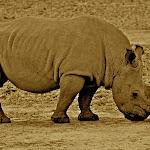 Big 5 Sepia-Rhino.jpg