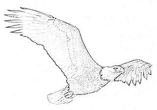 Eagle Bird Sketch