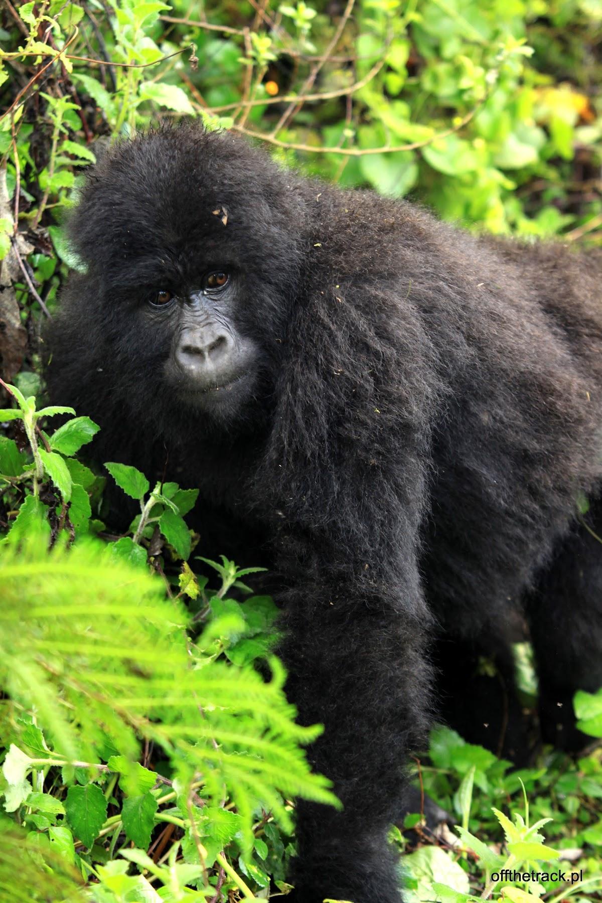 Gorylica, The Virunga massif region, Uganda
