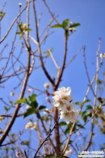 芬園花卉生產休憩園區河津櫻
