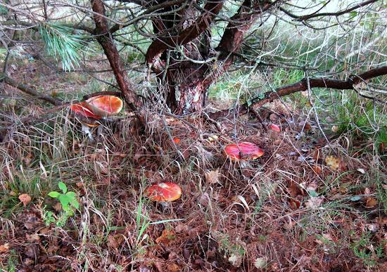 muchomorowy las