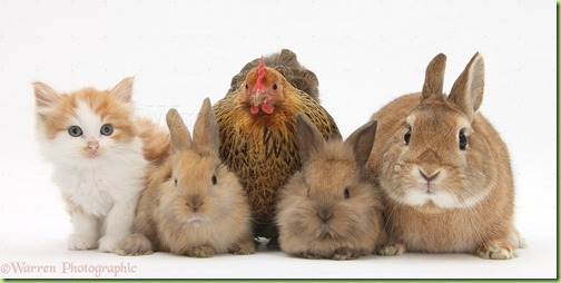 28030-Chicken-kitten-and-bunny-rabbits-white-background