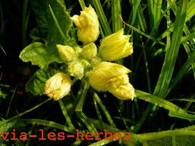 Concombre d'ane, Ecballium elaterium 2.jpg