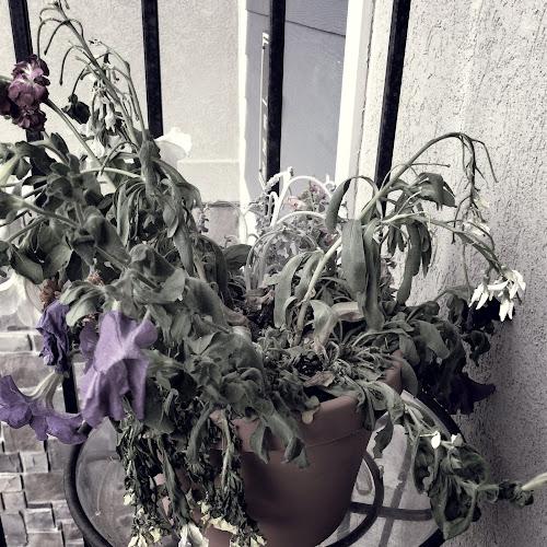Dead plants in the summer-like heat