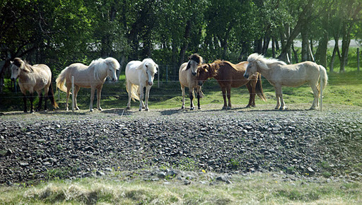 Icelandic-horses-in-Akureyr.jpg - A shot of the famed Icelandic horses!