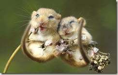 z mice