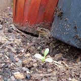 Gardening 2010 - 101_1044.JPG