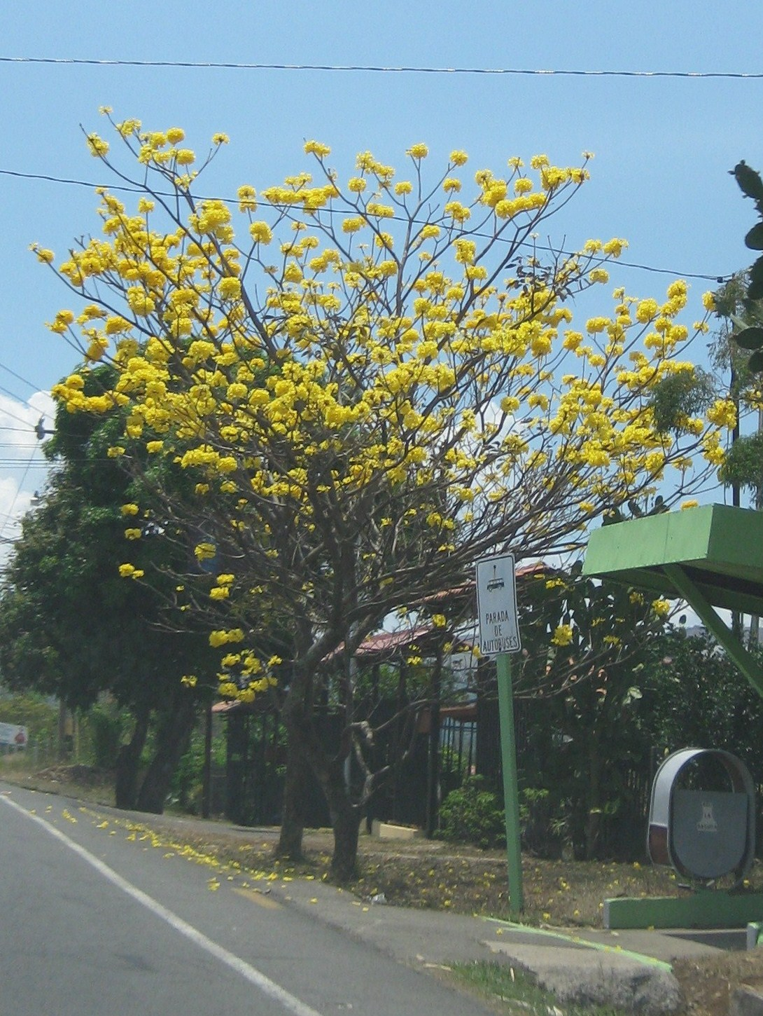 Costa Rica Blogging Flowering Trees Of Costa Rica In Bloom