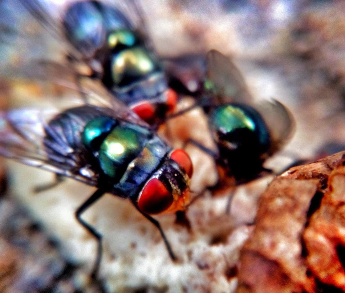 Lalat dan Langau
