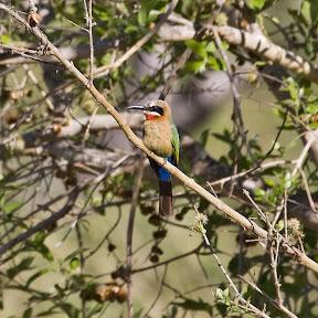 Bee Eater, Zambia