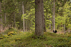 MYTHIQUE GRAND TETRAS   Rencontre au sommet avec le symbole des forêts de la montagne jurassienne