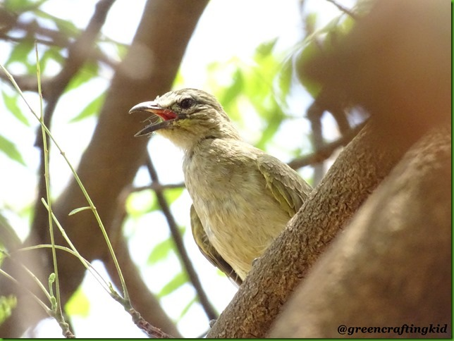 White browned Bulbul