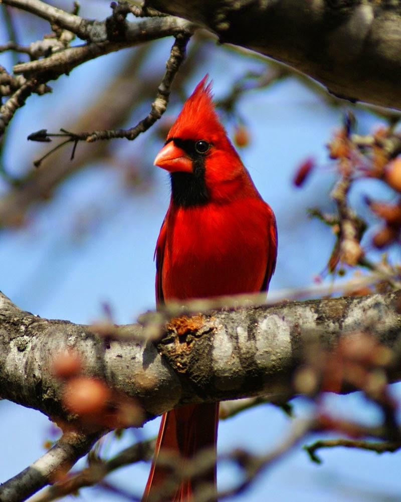North Central Texas Birds Northern Cardinal