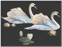 cisnes-buscoimagenes-18_thumb