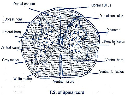 spinal cord-ts-rabbit