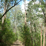 Tall forest south of Yarramalong (367175)