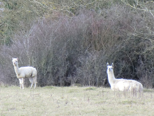CIMG5653 Alpacas at Southlands