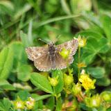 Erynnis tages (L., 1758), femelle. Fex Curtins, 1980 m (Grisons, CH), 10 juillet 2013. Photo : J.-M. Gayman