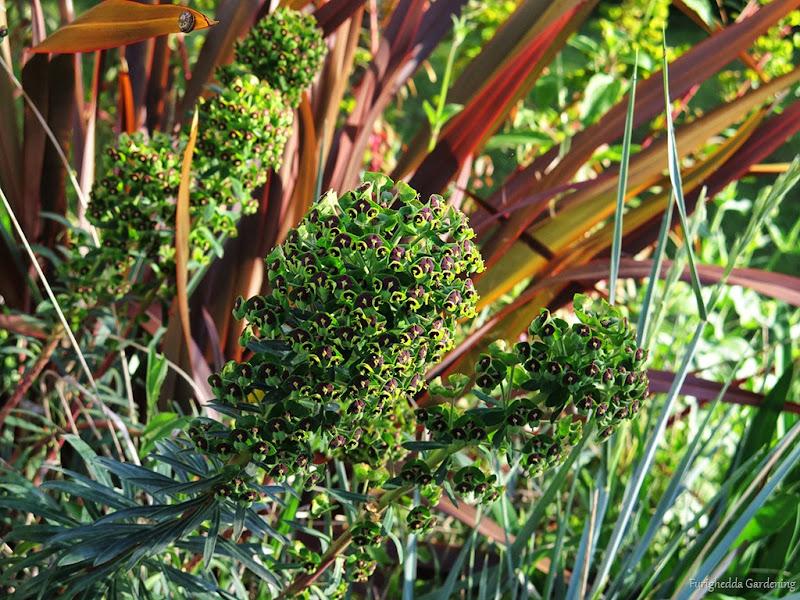 josie garden euphorbia