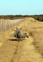 Rhinocéros White et son  petit