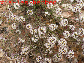 Lobulaire maritime Lobularia maritima Brassicacees.jpg