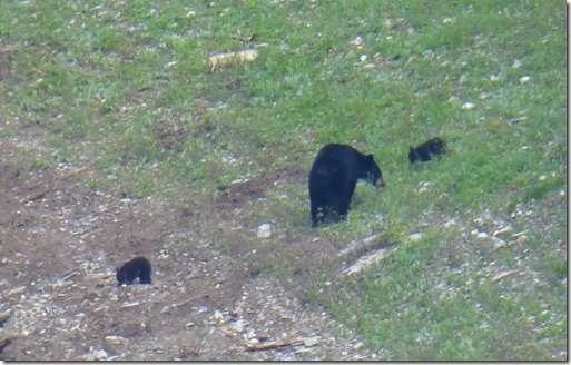 Bear at Yoho, Emerald Lake with cubs