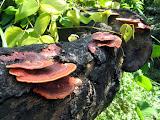 shelf fungus in Taipei County