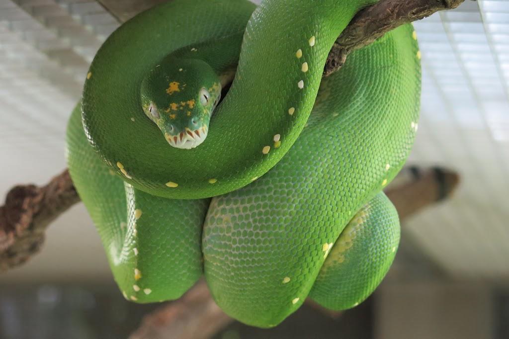Und auch ungiftige Schlangen, wie dieser Python
