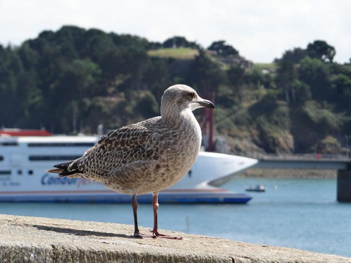 DSC01550.jpg - Les oiseaux � Saint-Malo par Bretagne-web.fr