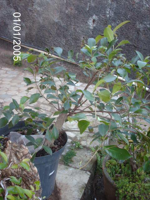 Ficus Microcarpa var. Indica... PICT1603