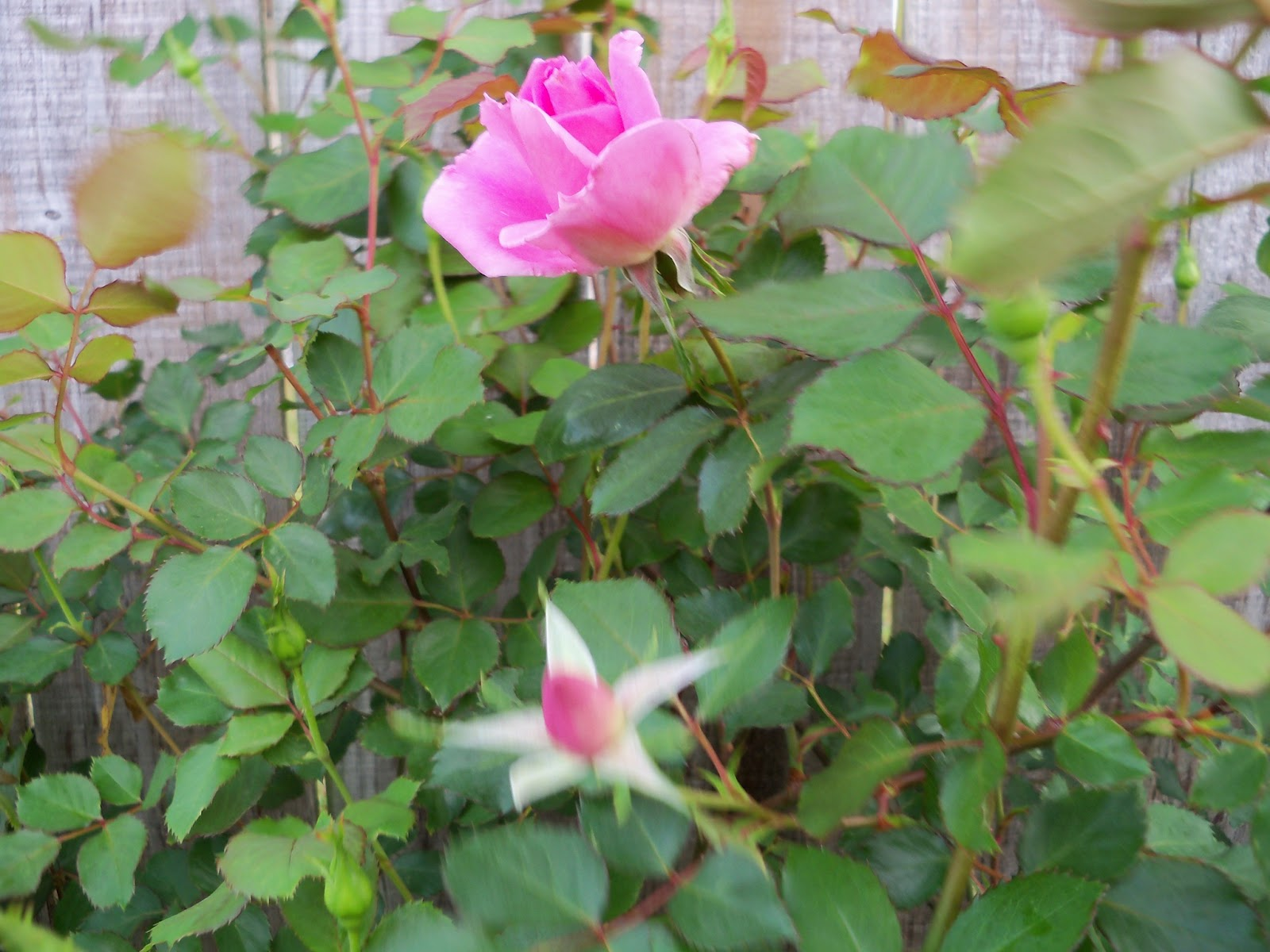 Gardening 2011 - 100_7079.JPG