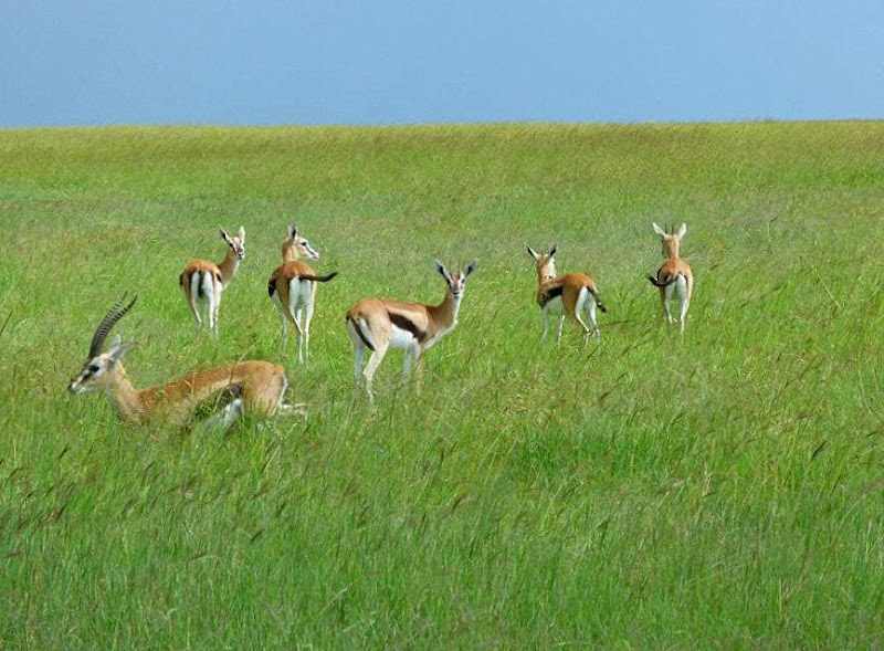 #wildlifesafaritanzania #Travelbloggerindia #Travelblog #Tanzaniatravelblog #tanzaniatourism #Tanzaniawildlifespotting #wildlifesafariafrica #Ngorongoroconservationarea #thompsongazelle