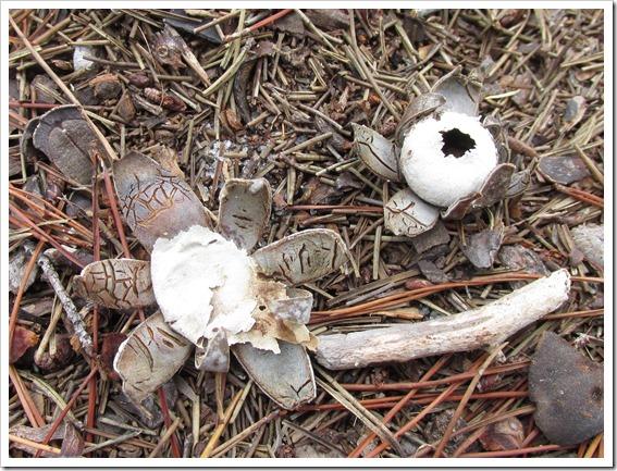 Earth Start Mushroom Fungi (2)