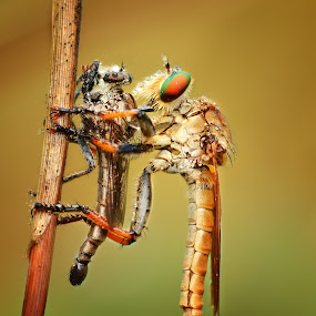Cannibalsm by Irfan Marindra - Animals Insects & Spiders ( macro, insects, robberfly )