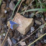 (?) Polyommatus escheri escheri (HÜBNER, 1823), mâle. Tras le Mont, 800 m, Cocurès (Lozère), 7 août 2013. Photo : J.-M. Gayman