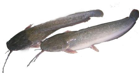 Tafsir Mimpi Ikan Lele