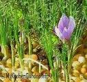 Saffron Growing  in a Pot