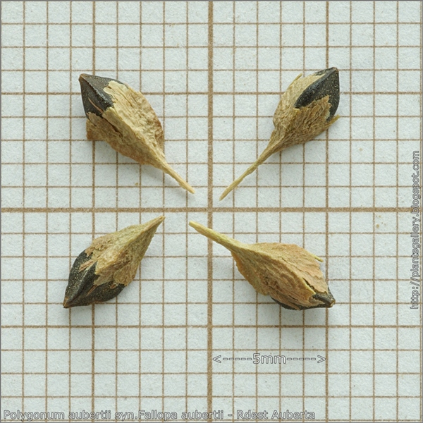 Polygonum aubertii syn.Fallopa aubertii seeds - Rdest Auberta nasiona