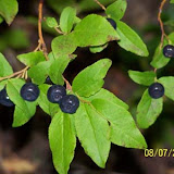 A whole field of mountain huckleberries...YUMMY!!