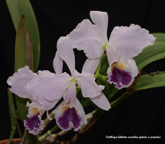Cattleya labiata coerulea junior x panelas IMG_8676b%252520%252528Large%252529