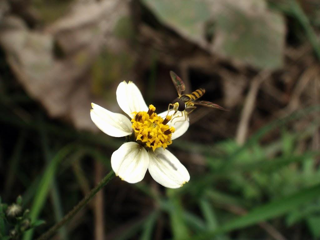 コシロノセンダングサの花1