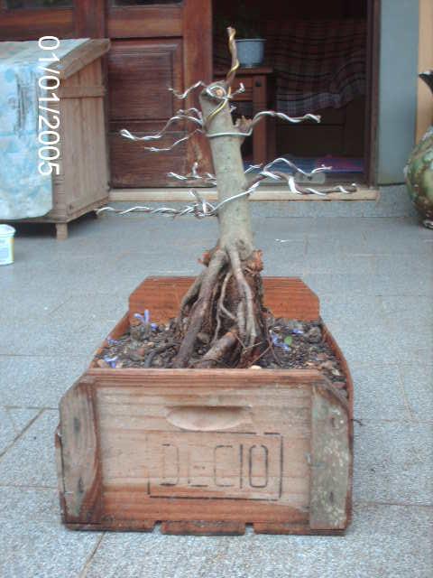 Ficus Microcarpa var. Indica... PICT1624
