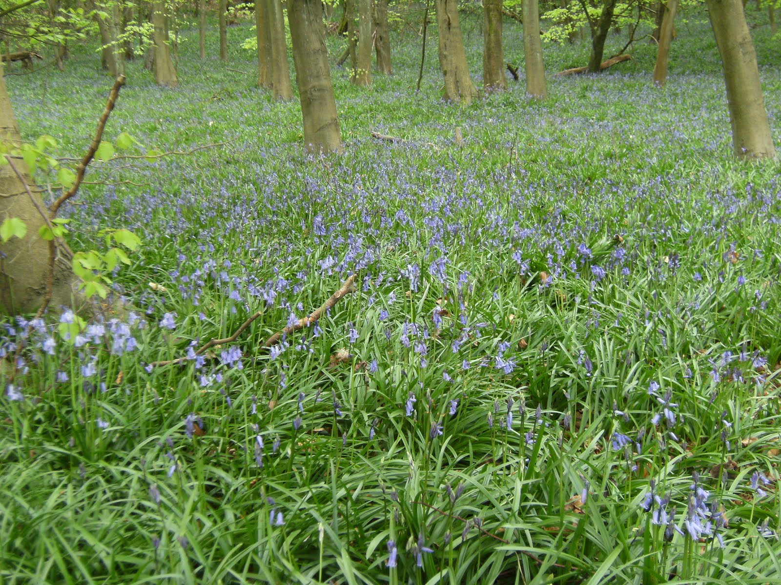 1005010004 Bluebell wood along the Darent valley