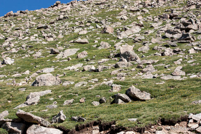 Big Horn Sheep on Mt Evans