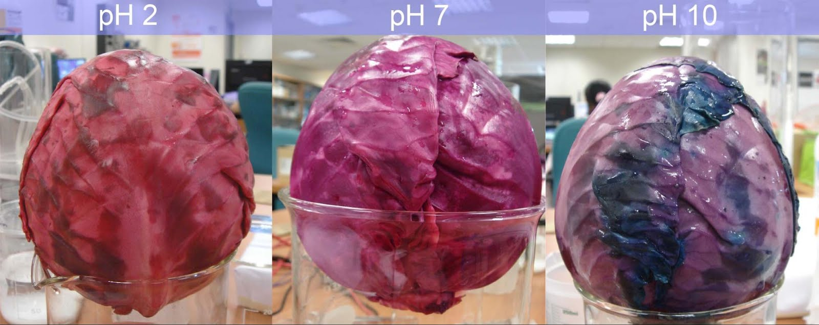 color changing cabbage