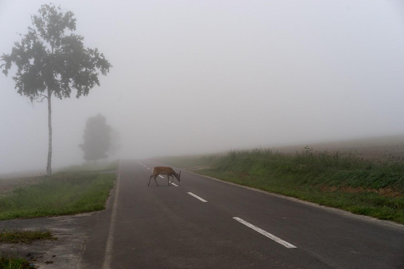 道路をゆっくりと横切る鹿さん