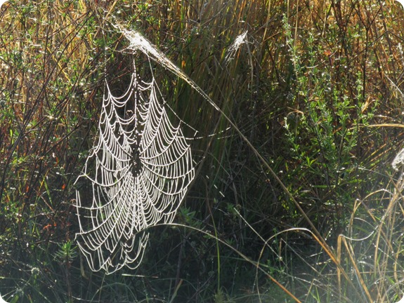 10a Spider Webs in Dew (4)