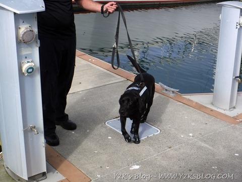 Labrador anti-droga e anti contrabbando di denaro con calzini !