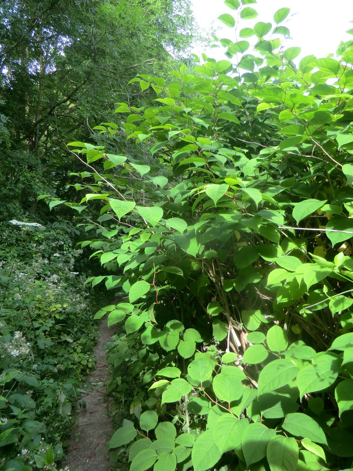 CIMG2430 Japanese knotweed invades the NDW